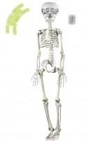 Bewegliches Skelett