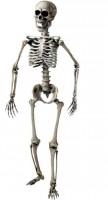 Skelett, lebensgross